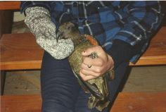 #greatwalker Kea I found trapped in Mt Luxmore hut on Kepler Track. I released after photo.