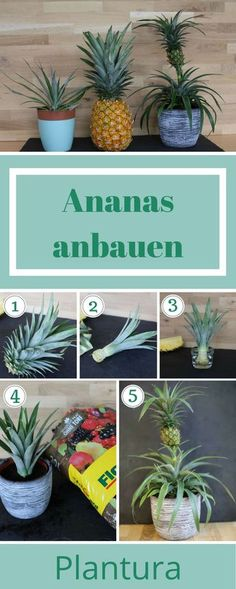 Planting pineapple: Instructions & tips for growing - Plantura- Ananas einpflanzen: Anleitung & Tipps zum Anbau – Plantura Planting pineapple is child& play! We show you in our step by step instructions how to do it! Grow yourself – made easy! Easy Garden, Diy Garden Decor, Indoor Garden, Garden Plants, Indoor Plants, House Plants, Garden Types, Pineapple Planting, Parts Of A Plant