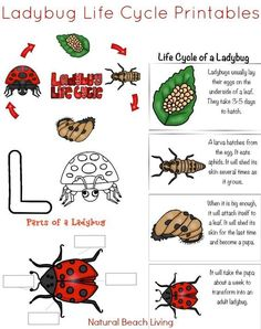 Awesome Ladybug Life Cycle Activities and Free Printables for kids, Natural lear. Bug Activities, Alphabet Activities, Preschool Alphabet, Children Activities, Preschool Science, Science For Kids, Lady Bug, Butterfly Life Cycle, Kindergarten Worksheets