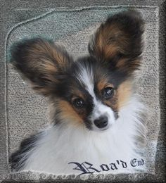 Antje.....you've done it again.  Beautiful Papillon.