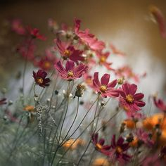 Bloom is eternal as all living and circle within forever since generations comes. Bloom is eternal Bloom, Wild Flowers, Beautiful Flowers, Cosmos Flowers, Simple Flowers, Spring Flowers, Cosmos Plant, Jolie Photo, Mother Nature