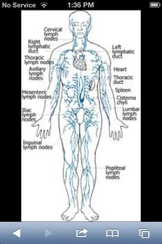 1000 Images About Lymphatic System On Pinterest