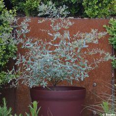 L'Eucalyptus gunnii France Bleu Rengun, également appelé gommier cidre est une nouveauté française qui fait son chemin. Cet eucalyptus forme un petit arbre persistant et ramifié, qui dépasse à peine 2 m de haut sur 1 m de large une fois adulte. Son feuillage bleuté très fin est doucement aromatique sur une silhouette colonnaire et dansante, très architecturale. D'un entretien facile, ses jeunes rameaux brun-rouge ne nécessitent pas de taille. Cette plante fera de nos jardins et de nos…