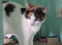Chanel-an-adoptable-cat-in-California