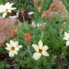 Margriet - Leucanthemum 'Sunshine Peach'