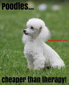 POODLES CHEAPER THAN THERAPY!!!