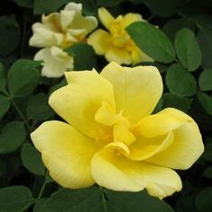 When you order plants online from Garden Crossings, you can be certain that they're healthy, robust, and ready to plant. See our plants here. Yellow Knockout Roses, Shrub Roses, Planting Roses, Buy Roses, Mellow Yellow, Lawn And Garden, Garden Landscaping, Shrubs, Beautiful Flowers