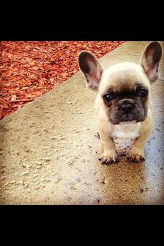 Hello, my love... Frenchie puppy