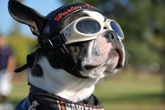 PUPPY HELMETS ON MOTORCYCLE | Dog Motorcycle Goggles