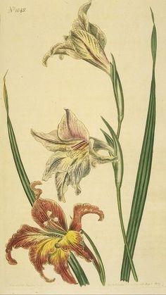 lily/gladolius type flower