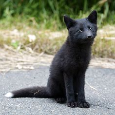 Japanese Black Fox - Photographer unknown