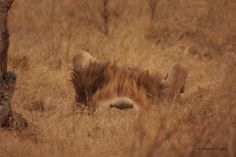 When camping in Botswana, one guide got the fright of his life when a male lion decided to take a nap on his tent - with him in it!
