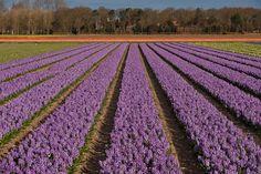 Bollenvelden Noordwijkerhout Tino Stulen