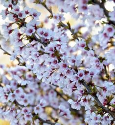 Prunus incisa 'Kojo-No-Mai' plants from Thompson & Morgan - experts in the garden since 1855 Cherry Plant, Flowering Cherry Tree, Cherry Blossom Tree, Blossom Trees, Nature Plants, Live Plants, Patio Trees, Daffodil Bulbs, Spring Starts