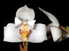 Maxillaria lindeniae