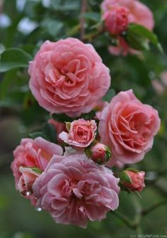 'Pirouette ' Rose Photo