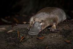 Recent studies suggest the duck-billed mammal is not as widespread as thought, in part due to centuries of hunting and habitat loss. Tasmania, Reptiles And Amphibians, Mammals, Platypus, Australian Animals, Science Nature, National Geographic, Habitats, Hunting