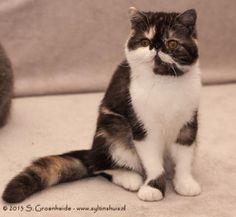 Exotic Kitten | Cattery Syltin's Huis | The Netherlands | www.kittentekoop.nl