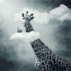 """Giraffe:  """"My Head Is In The Clouds Today!"""""""