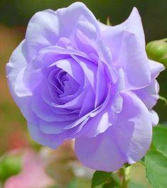 Lavender Roses, Tea Roses, Purple Flowers, Pink Roses, Beautiful Rose Flowers, Meadow Flowers, Belle Plante, Flower Meanings, Rose Of Sharon