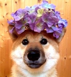 Shiba Inus are my favorite dogs! I  want one so badly even if they are difficult…