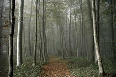 foggy forest (by HerbyD)