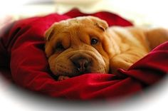 my neighbors miniature shar pei puppy was the cutest puppy I'd ever seen... I want one
