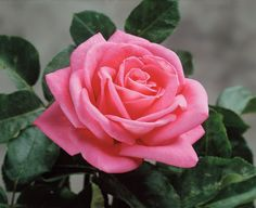 The Peter Mayle rose is one of the most fragrant Star® introductions