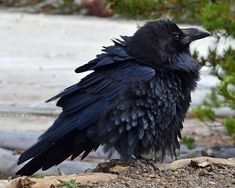 A common raven (Corvus corax) at the Roaring Mountain in Yellowstone National Park.