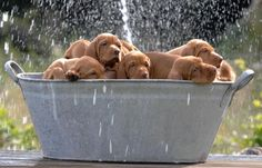 Bucket of Vizsla puppies.