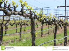 grapevine trellis designs | Royalty Free Stock Image: Grapevine in Spring