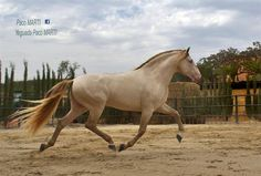buckskin pearl - Pure Spanish Horse stallion Bronco PM