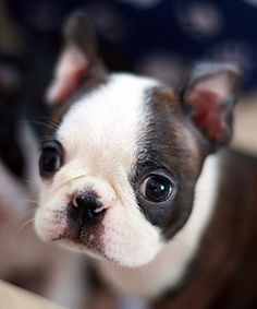 A cute little Boston puppie! I am melting...