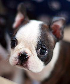 A cute little Boston puppie! I am melting...