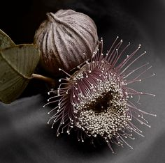 Pinner: Gum nut babies by Charles McKean Me: So many things.What the hell? Why the hell? Tree Photography, Seed Pods, Mother Nature, Planting Flowers, Beautiful Flowers, Seeds, Floral, Photos, Pictures