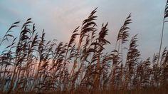 Riet  #fotofrafie #holland #spring #natuur  #nature