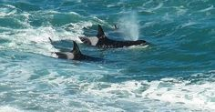 #Sea #Ocean #Animals www.pegasebuzz.com | Orca, orque, killer whale, black fish. | www.ShareMySea.fr