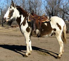 Spotted Gaited Mule