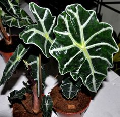 Alocasia Plant: Care and Growing Guide