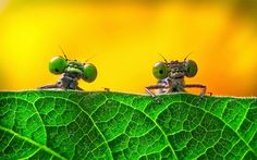 "Shortlisted: ""Two big eyes"" by Miao Yong (Zejiang province, China). Damselflies look over the leaves.   ""I was photographing insects in a park near my home when suddenly I found two damselflies in the grass. They kept flying and it was very difficult to focus until suddenly they parked behind a l"