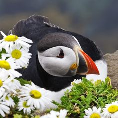 See Iceland's puffins on spectacular sea cliffs