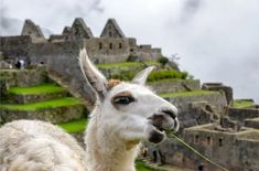 tratamiento basado en los anticuerpos de las llamas Llamas, Peru, Inka, Landing, Animals, Products, Amazons, Wall Calendars, Nature