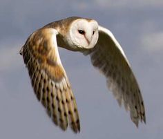 The owl has feathers that help minimize the noise of their flight. Some like the barn owl are near aerodynamic perfection. (Barn Owl - Tyto alba)