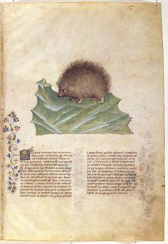Riccio. Dal codice Historia Plantarum (o Tacuinun sanitatis), della Biblioteca Casanatense di Roma (ms. 459) - Lombardia, fine del XIV secolo