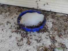 how to kill white ant queen borax