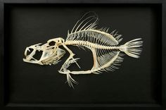 . Human Skeleton Anatomy, Fish Skeleton, Animal Skeletons, Tales From The Crypt, Dead Fish, Animal Bones, Halloween Pictures, Fish Art, Skull And Bones