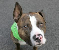 SAFE! | TO BE DESTROYED 05/22/16**AVERAGE RATED**A volunteer writes: Rocky is a pretty tough-sounding name for a boy this silly. And this cute. It's hard to pinpoint my favorite feature of Rocky's. What would be my favorite part of Van Gogh's