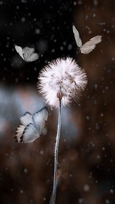 Billowy often crystallized life stuff, creations, and word collections. Flowery Wallpaper, Butterfly Wallpaper, Dandelion Art, 4k Background, Montage Photo, Landscape Wallpaper, Cool Backgrounds, Beautiful Butterflies, Belle Photo