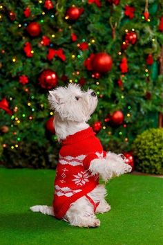 Cute christmas puppies for kids animals dogs, christmas puppy, christmas . Christmas Puppy, Merry Christmas To All, Christmas Animals, Christmas Time, Xmas, Westies, Westie Puppies, Cute Puppies, Chihuahua Dogs