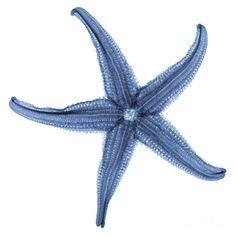 Starfish X-ray by Gustoimages - Starfish X-ray Photograph . Starfish Drawing, Starfish Art, Mermaid Under The Sea, Sea Art, Sea Life Art, Art Folder, Science Photos, Coral Blue, Coastal Style